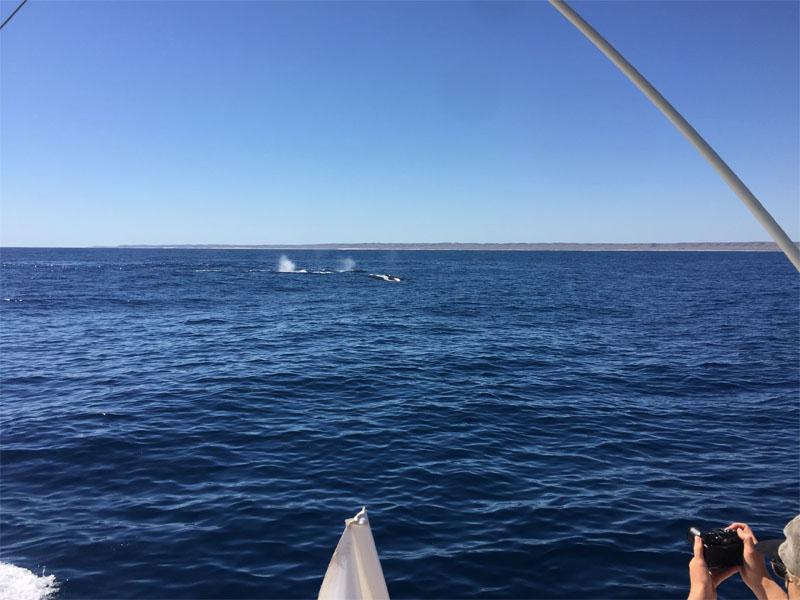 Humpback whale swim interaction tours ready to swim