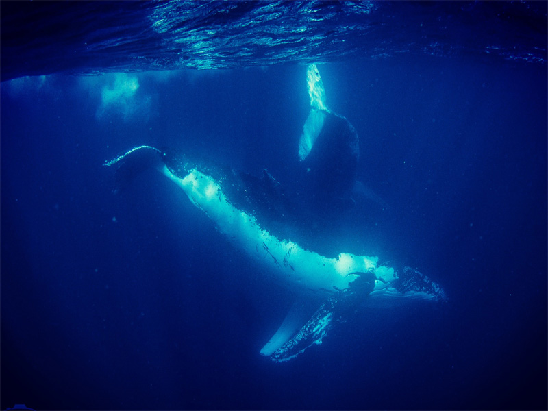 SWIM-WITH-THE-HUMPBACK-WHALES-IN-EXMOUTH-whales-turning-underwater